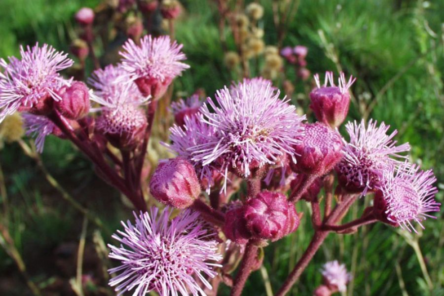 The Pompom Weed